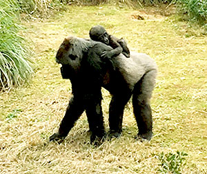 Mama and baby gorillas